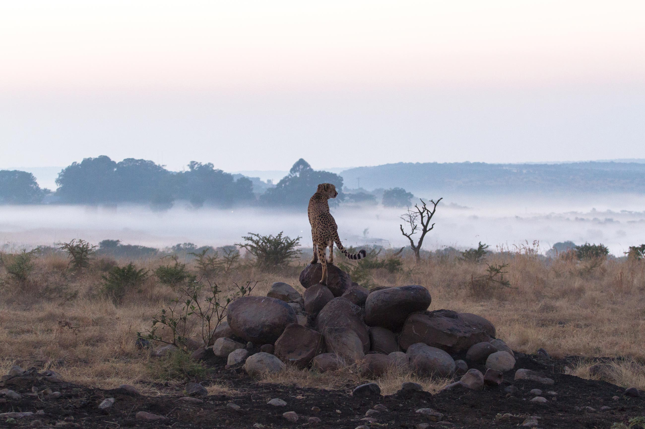 the moving lens - nambiti reserve - cheetah ridge - cheetah