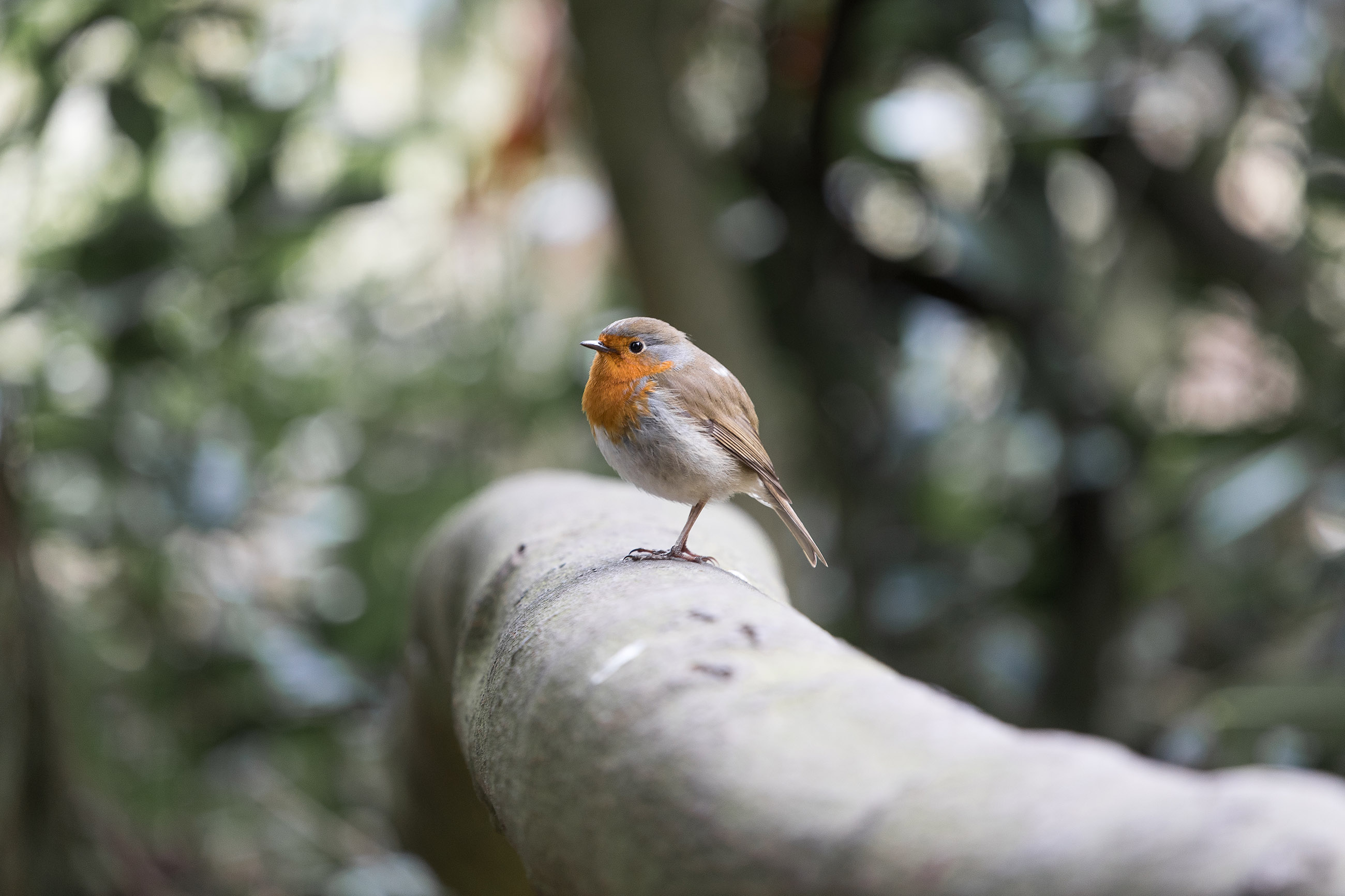 dublin-ireland-europe-phoenixpark-park-bird-robin-famous-place-city-themovinglens-colourfull-travel-photography-destination-life